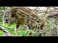 Wild Zwijn – Sus scrofa (F4)