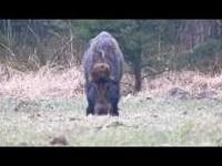 Wild Zwijn – Sus scrofa (F5)