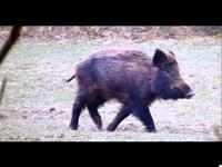 Wild Zwijn – Sus scrofa (F6)