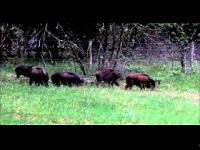 Wild Zwijn – Sus scrofa (F7)