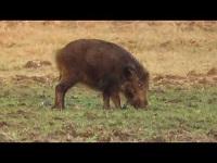 Wild Zwijn – Sus scrofa (F9)