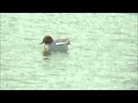 Wintertaling – Anas crecca