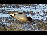 Wintertaling – Anas crecca (F3)