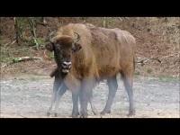 Wisent – Bison bonasus (F1)