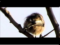 Witkoppige Staartmees Aegithalos caudatus var