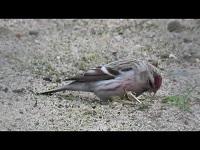 Witstuitbarmsijs - Acanthis hornemanni