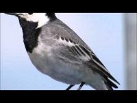 Witte Kwikstaart – Motacilla alba