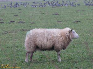 Witte Texelaar schaap
