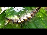 Witvlakvlinder (rups) – Orgyia antiqua (F1)