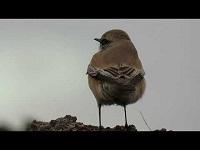 Woestijntapuit - Oenanthe deserti (F1)