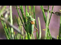 Zadelsprinkhaan - Ephippiger diurnus (F1)