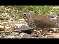 Zanglijster – Turdus philomelos