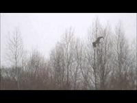 Zeearend – Haliaeetus albicilla