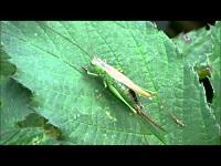 Zuidelijk Spitskopje – Conocephalus discolor (F1)