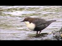 Zwartbuikwaterspreeuw – Cinclus cinclus cinclus