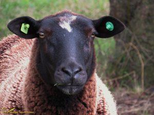 Zwarte Bles schaap