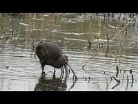 Zwarte Ibis – Plegadis falcinellus