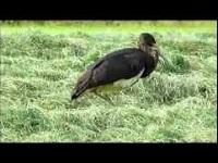 Zwarte Ooievaar – Ciconia nigra