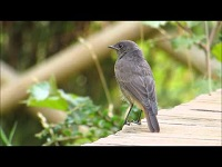 Zwarte Roodstaart – Phoenicurus ochruros (F1)