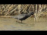 Zwarte Ruiter – Tringa erythropus (F1)