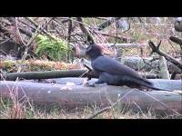 Zwarte Specht – Dryocopus martius