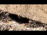 Zwarte Wegmier – Lasius niger (F1)