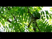 Zwartkop – Sylvia atricapilla