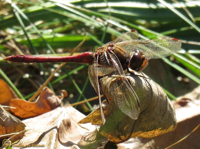 Bloedrode heidelibel – Sympetrum sanguineum