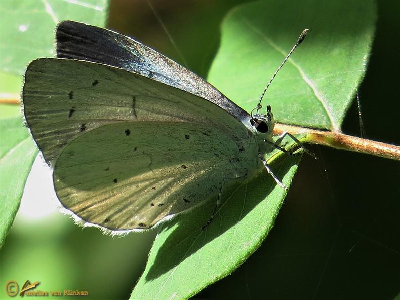Boomblauwtje – Celastrina argiolus