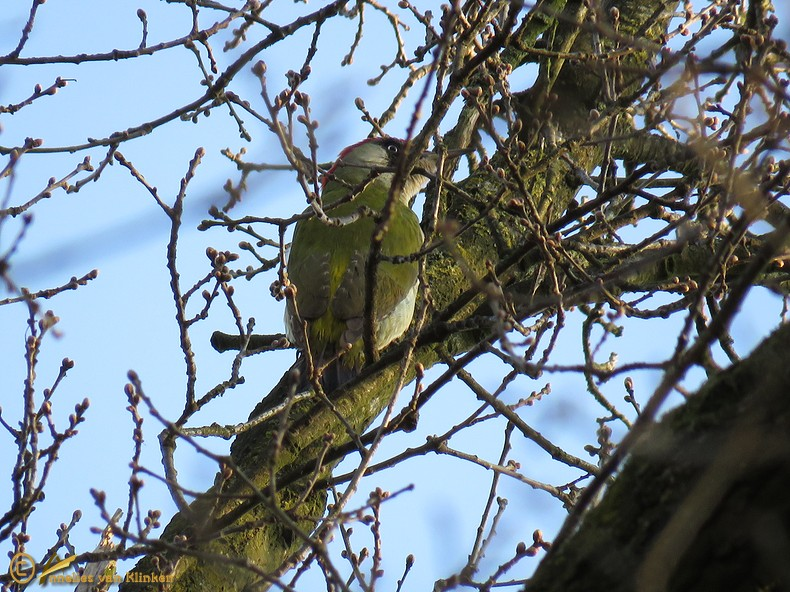 Groene Specht - Picus viridis