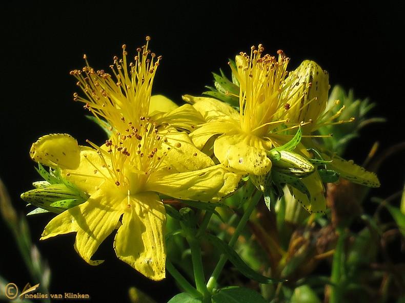 Kantig hertshooi s.l. – Hypericum maculatum