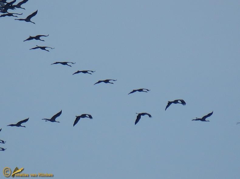 Kraanvogel - Grus grus