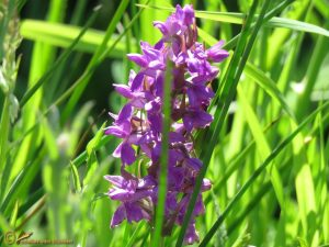Brede orchis - Dactylorhiza majalis