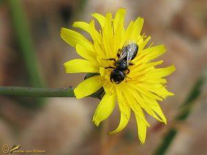 Kleine roetbij - Panurgus calcaratus ♀️