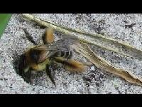 Pluimvoetbij - Dasypoda hirtipes