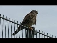 Torenvalk – Falco tinnunculu