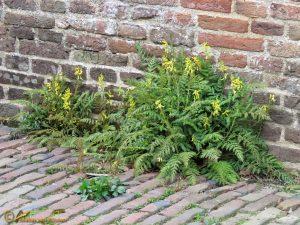 Varenhelmbloem - Corydalis cheilanthifolia