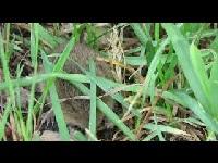 Veldmuis - Microtus arvalis