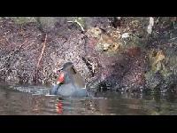 Waterhoen - Gallinula chloropus