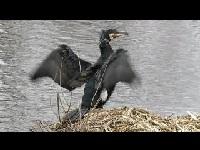 Aalscholver – Phalacrocorax carbo
