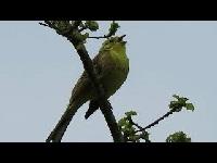 Geelgors – Emberiza citrinella