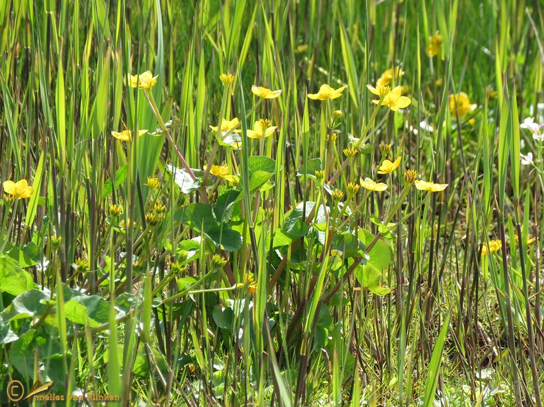 Gewone dotterbloem - Caltha palustris subsp. palustris