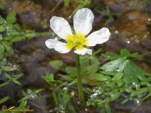 Grote waterranonkel - Ranunculus peltatus