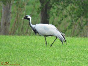 Jufferkraanvogel - Grus virgo