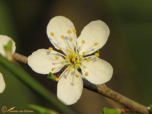 Kerspruim - Prunus cerasifera