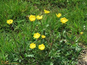 Knolboterbloem - Ranunculus bulbosus