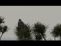 Koekoek – Cuculus canorus