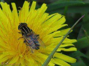 Moeraspendelvlieg – Helophilus hybridus