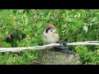 Ringmus – Passer montanus