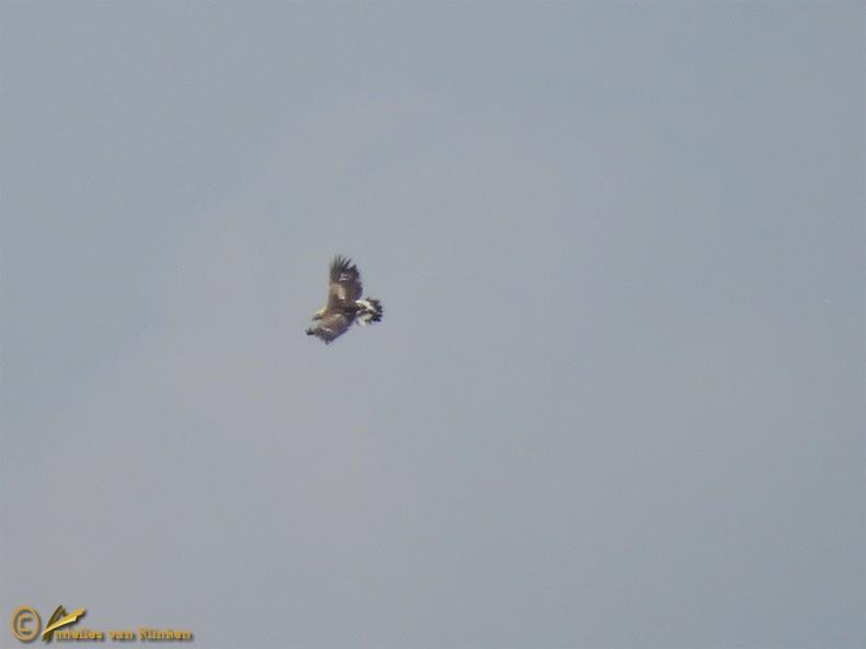 Steenarend - Aquila chrysaetos